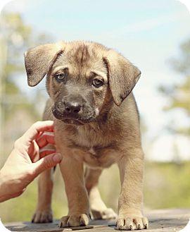 Retriever (Unknown Type)/Shepherd (Unknown Type) Mix Puppy for adoption in Marietta, Georgia - Baker