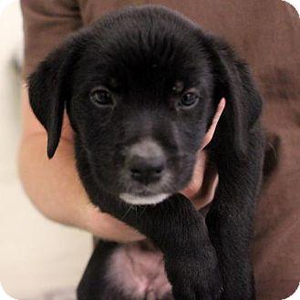 Labrador Retriever Puppy for adoption in Atlanta, Georgia - Itza