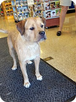 Border Terrier Mix Puppy for adoption in Winnetka, California - JUNIOR