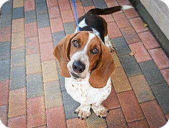 Basset Hound Dog for adoption in Folsom, Louisiana - Conner