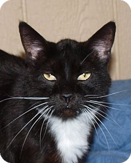 Domestic Mediumhair Cat for adoption in Jackson, Mississippi - Oreo