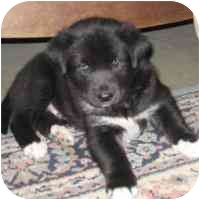 Siberian Husky Mix Puppy for adoption in Various Locations, Indiana - Tank