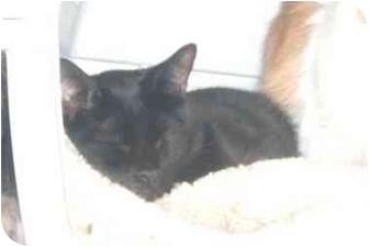 Oriental Cat for adoption in Bedford, Massachusetts - Muggs