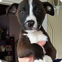 Adopt A Pet :: Harley - Winnetka, CA
