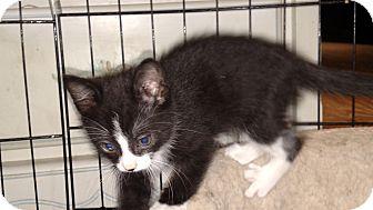 Domestic Shorthair Kitten for adoption in Benton, Pennsylvania - Sniper