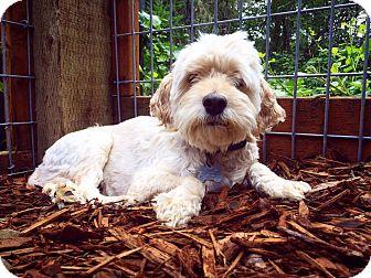 Cocker Spaniel/Poodle (Miniature) Mix Dog for adoption in Eugene, Oregon - Sunny