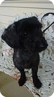 Poodle (Miniature) Mix Dog for adoption in Ashville, Ohio - Elvis