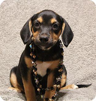 Labrador Retriever/Shepherd (Unknown Type) Mix Puppy for adoption in Yadkinville, North Carolina - Joanie