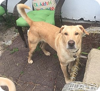 Labrador Retriever Dog for adoption in Austin, Texas - Harrison