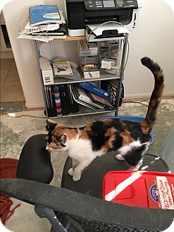 Calico Cat for adoption in Palm Springs, California - Ava