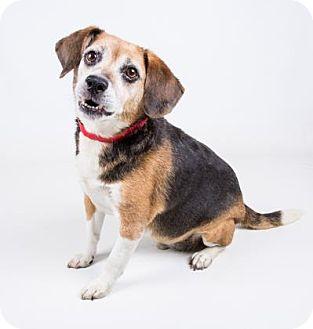 Beagle Mix Dog for adoption in Adrian, Michigan - Reggie