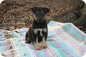 German Shepherd Dog Mix Puppy for adoption in Seneca, South Carolina - Lilly $250