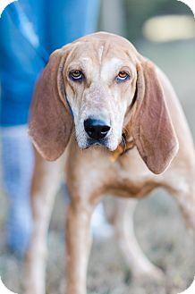 English (Redtick) Coonhound Mix Puppy for adoption in Seneca, South Carolina - Happy $125