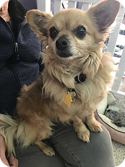 Pomeranian/Papillon Mix Dog for adoption in Thousand Oaks, California - Papas