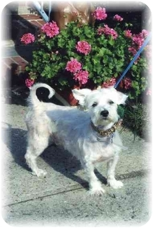 Lhasa Apso/Terrier (Unknown Type, Small) Mix Dog for adoption in Baldwin, New York - Francoise