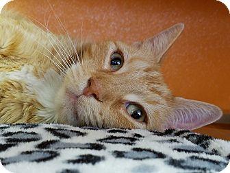Domestic Shorthair Cat for adoption in Elyria, Ohio - Socks