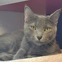 Domestic Shorthair Cat for adoption in Akron, Ohio - Jade Grey