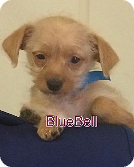 Terrier (Unknown Type, Small) Mix Puppy for adoption in Va Beach, Virginia - BlueBell