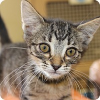 Adopt A Pet :: JELLY - Las Vegas, NV