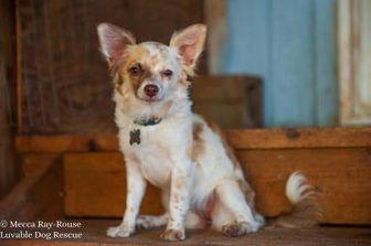 Chihuahua Mix Dog for adoption in Eugene, Oregon - Wallowa