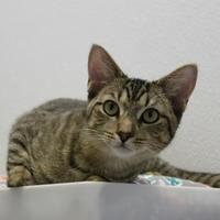 Adopt A Pet :: Sage - St. Petersburg, FL