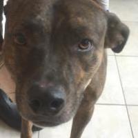 Adopt A Pet :: DINGO - St. Thomas, VI