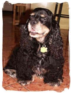 Cocker Spaniel Mix Dog for adoption in San Diego, California - Daisy #2