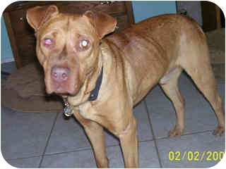 American Staffordshire Terrier Mix Dog for adoption in Scottsdale, Arizona - Percy