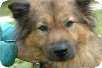 Chow Chow/Shepherd (Unknown Type) Mix Dog for adoption in Walker, Michigan - Simba