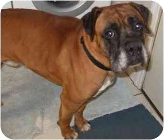 Boxer Dog for adoption in Tallahassee, Florida - Houston