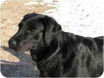 Flat-Coated Retriever/Labrador Retriever Mix Dog for adoption in Rigaud, Quebec - Colby