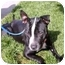 Photo 2 - American Pit Bull Terrier Mix Dog for adoption in Berkeley, California - Buzzy