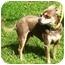 Photo 3 - Chihuahua Dog for adoption in Osseo, Minnesota - Boaz
