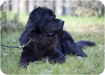 Newfoundland Dog for adoption in Ile-Perrot, Quebec - Coda
