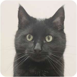 Domestic Shorthair Cat for adoption in Naperville, Illinois - Bumble