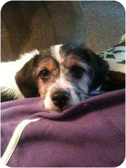 Beagle/Poodle (Toy or Tea Cup) Mix Puppy for adoption in Westport, Connecticut - *Cooper - PENDING