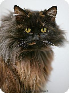 Maine Coon Cat for adoption in Davis, California - Olivia