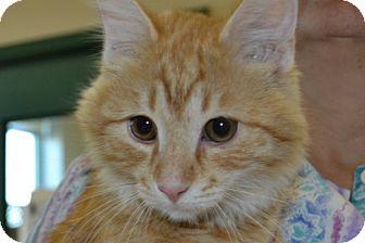 Domestic Mediumhair Kitten for adoption in Elyria, Ohio - Garfield