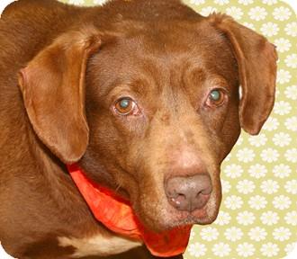 Labrador Retriever Mix Dog for adoption in Cincinnati, Ohio - Marge