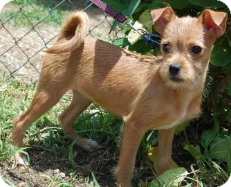 Chihuahua/Terrier (Unknown Type, Small) Mix Puppy for adoption in Bradenton, Florida - Folly