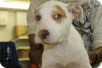 Labrador Retriever Mix Dog for adoption in Waldorf, Maryland - Carlie