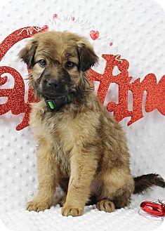 Australian Shepherd/Terrier (Unknown Type, Medium) Mix Puppy for adoption in Westminster, Colorado - Honey