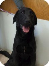 Labrador Retriever Mix Dog for adoption in Silver City, New Mexico - Boston Hill Boy
