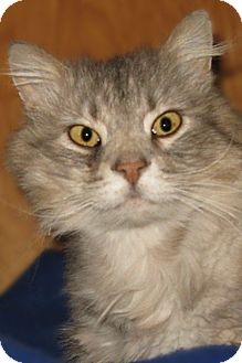 Domestic Longhair Cat for adoption in Cardwell, Montana - Scruffy