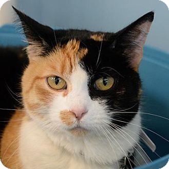 Domestic Shorthair Cat for adoption in Denver, Colorado - Cornelia