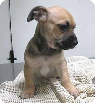Chihuahua Mix Puppy for adoption in Los Angeles, California - IZZY