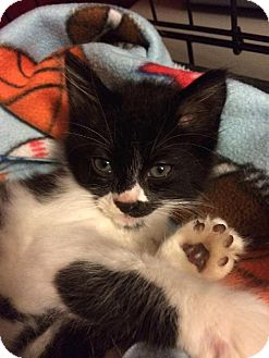 Domestic Mediumhair Kitten for adoption in Satellite Beach, Florida - Derby