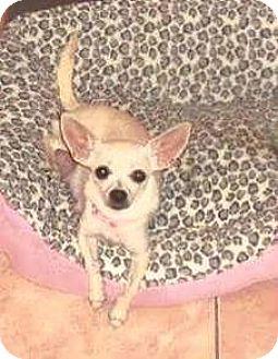 Chihuahua Dog for adoption in Davie, Florida - Daisy