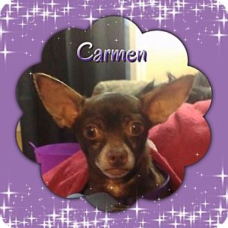 Chihuahua Dog for adoption in Barriere, British Columbia - Carmen