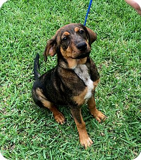 Bloodhound/Hound (Unknown Type) Mix Dog for adoption in Seattle, Washington - Roxy